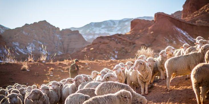 shepherd, sheep